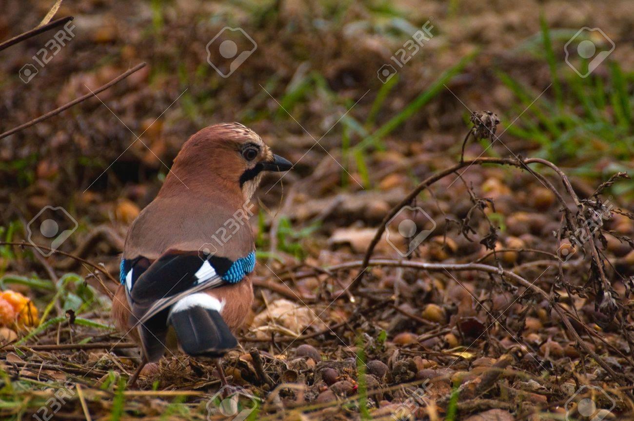 Common Jay, Jay - Garrulus glandarius Stock Photo - 15979464