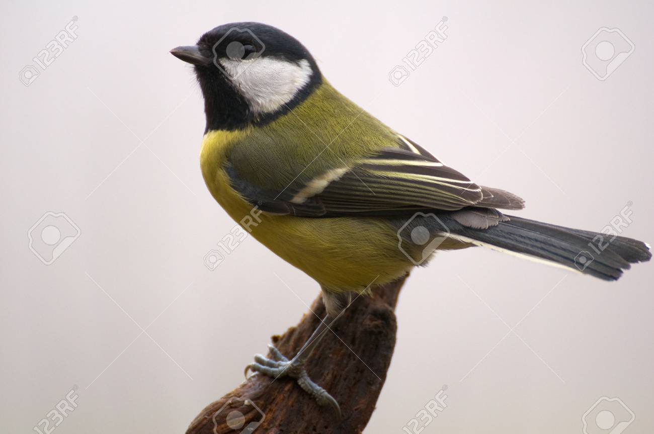 Parus major - Tit Stock Photo - 16546550