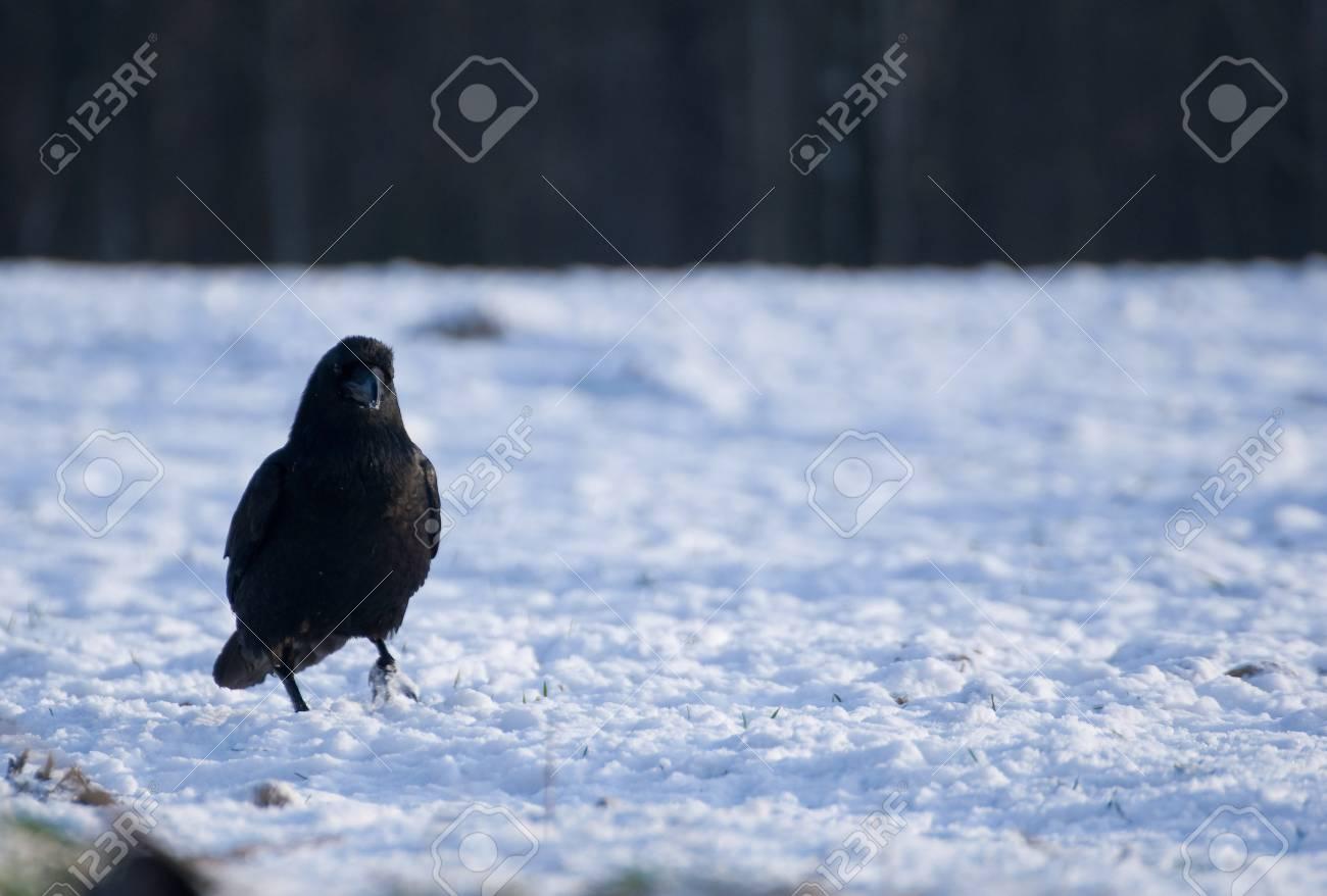 Raven - Corvus corax Stock Photo - 16730451