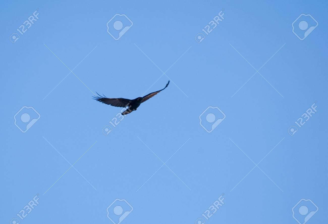Raven - Corvus corax Stock Photo - 16757040