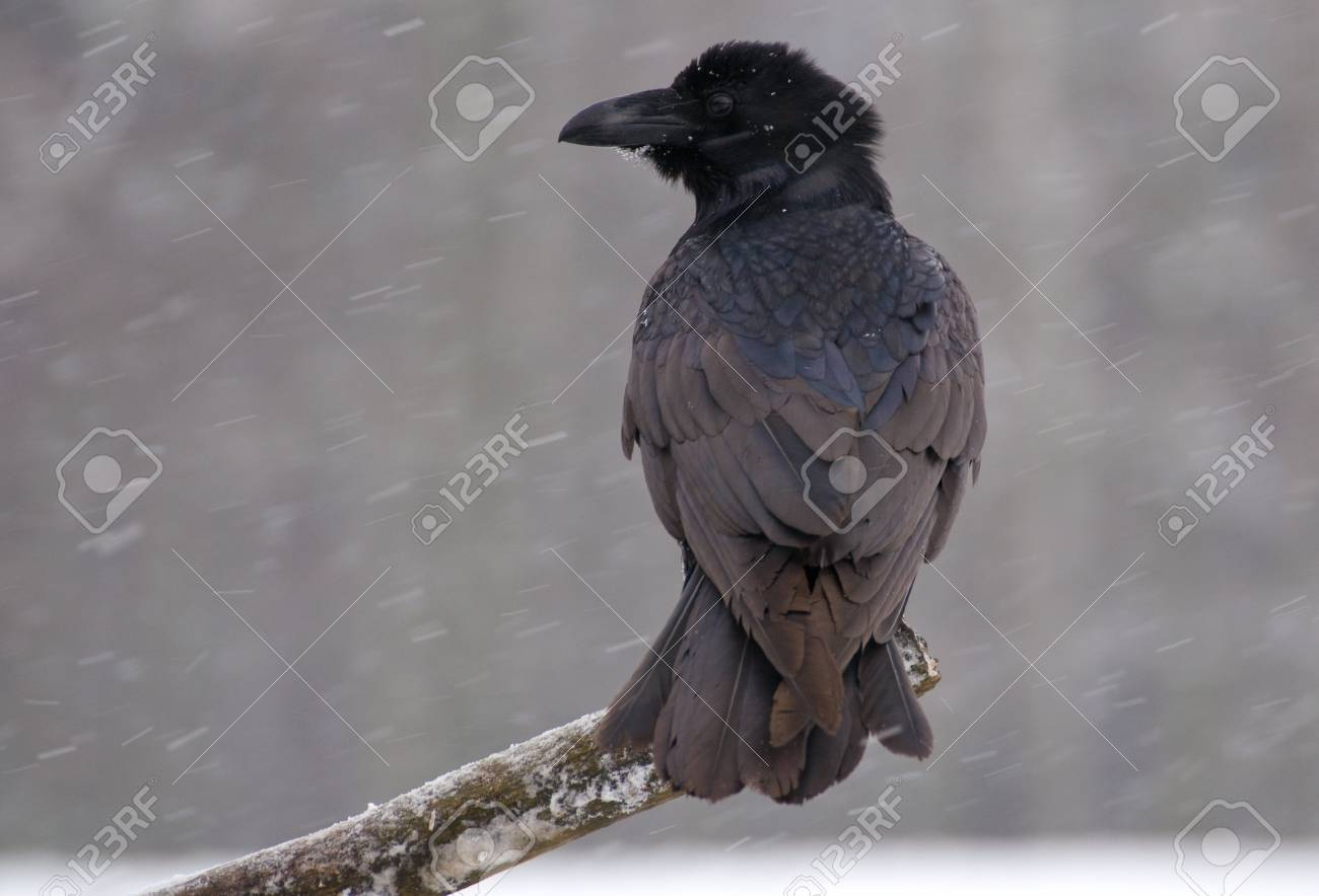 Raven - Corvus corax Stock Photo - 16841202