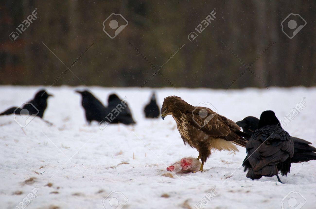 Buzzard and ravens Stock Photo - 16842482