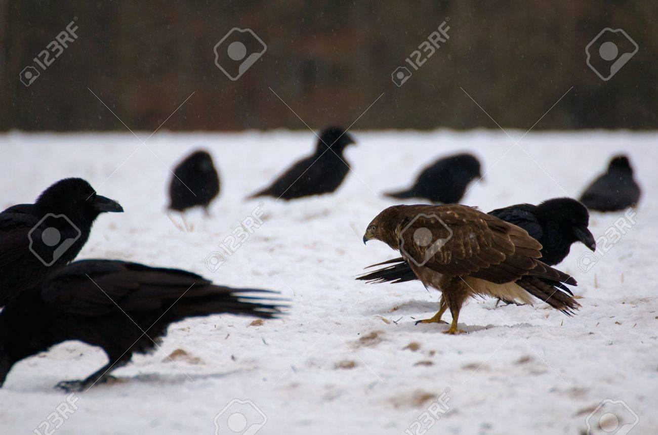 Buzzard and ravens Stock Photo - 16859009