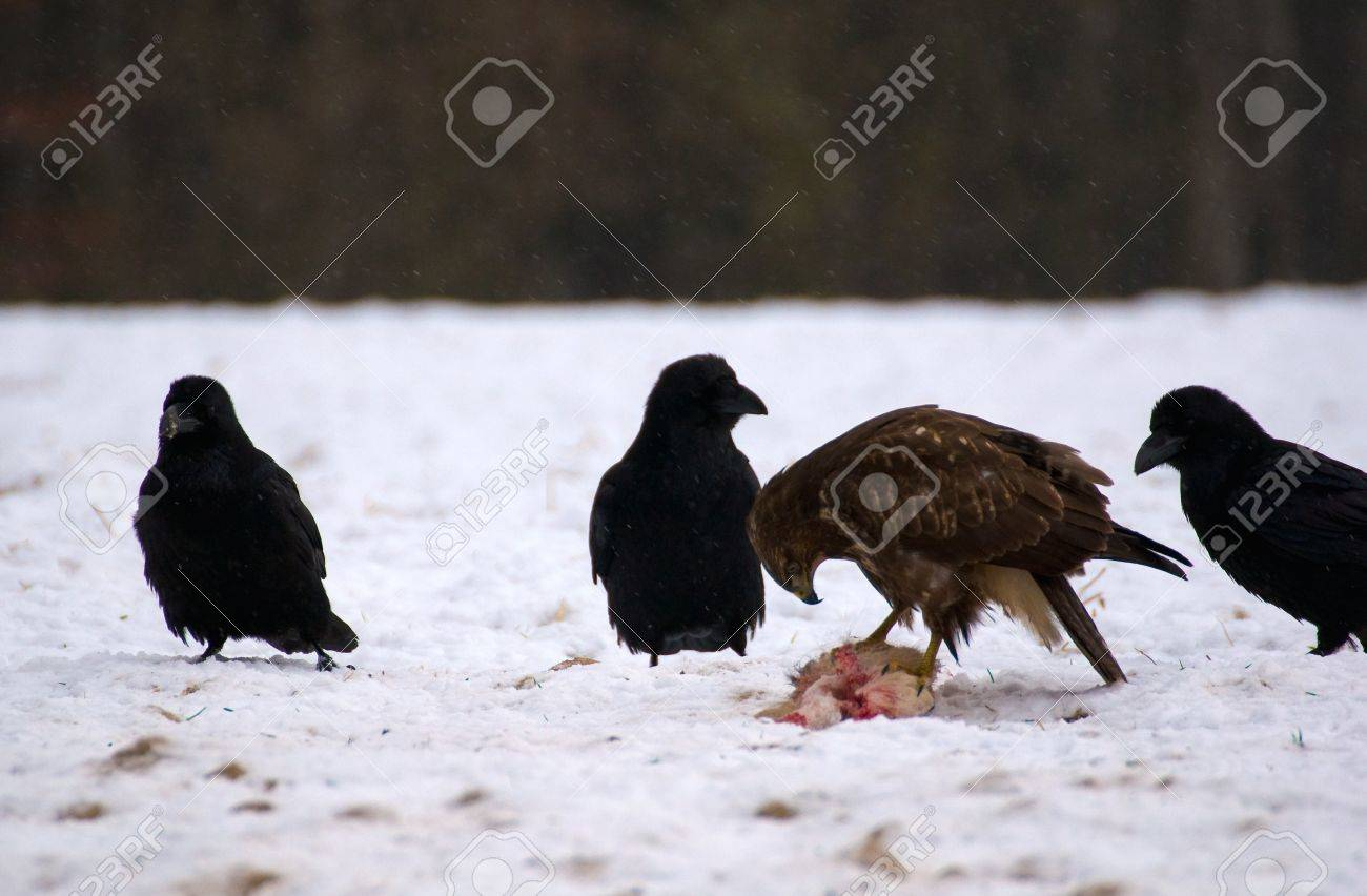 Buzzard and ravens Stock Photo - 16858993