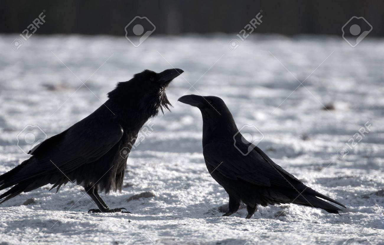 Raven Stock Photo - 16996386
