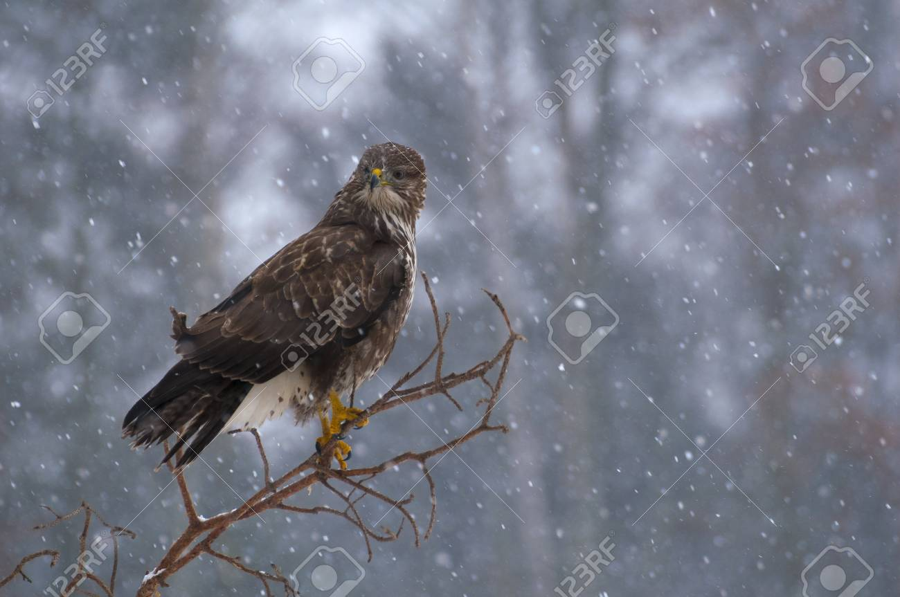 Buzzard Stock Photo - 17322360