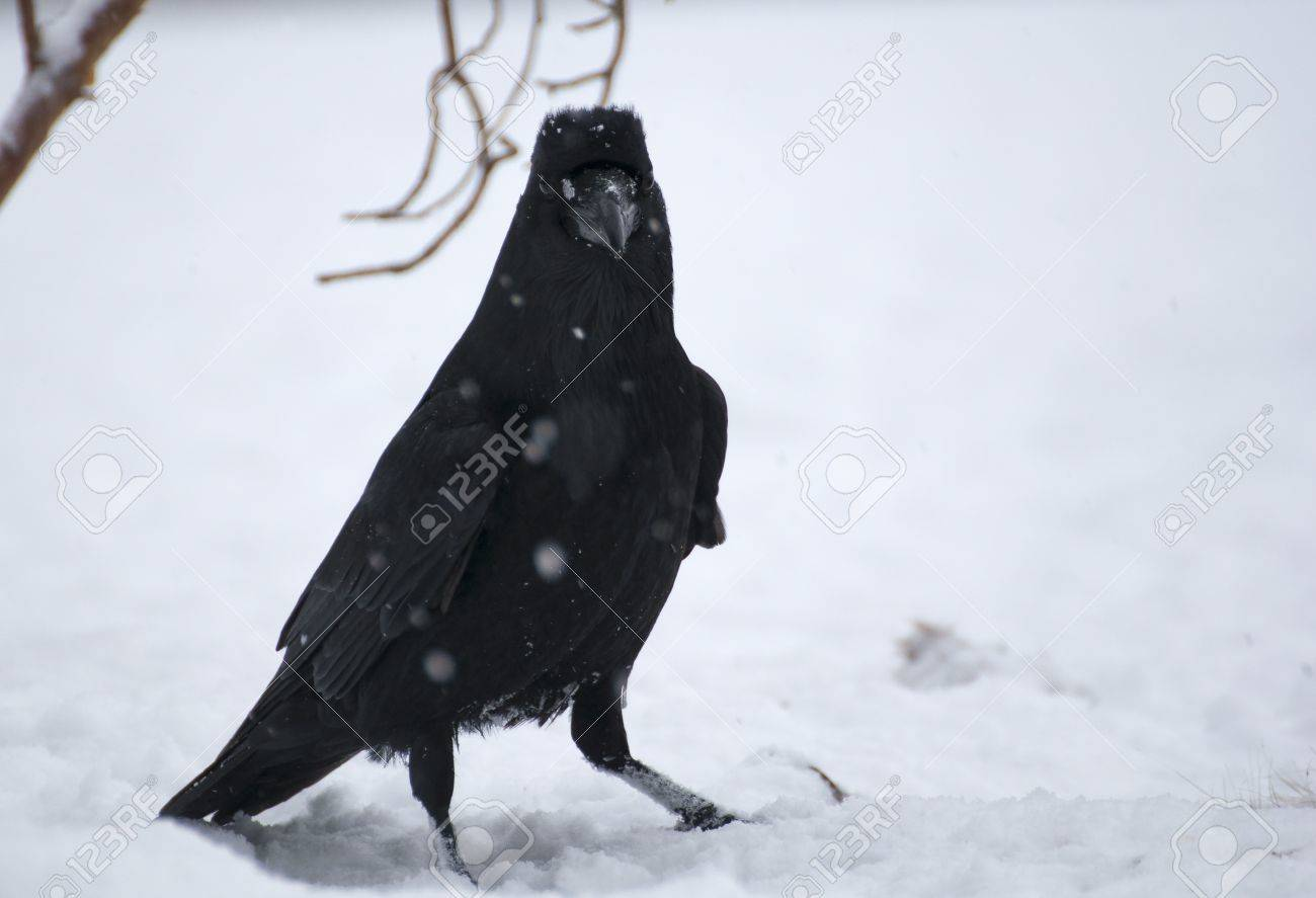 Raven Stock Photo - 17322252