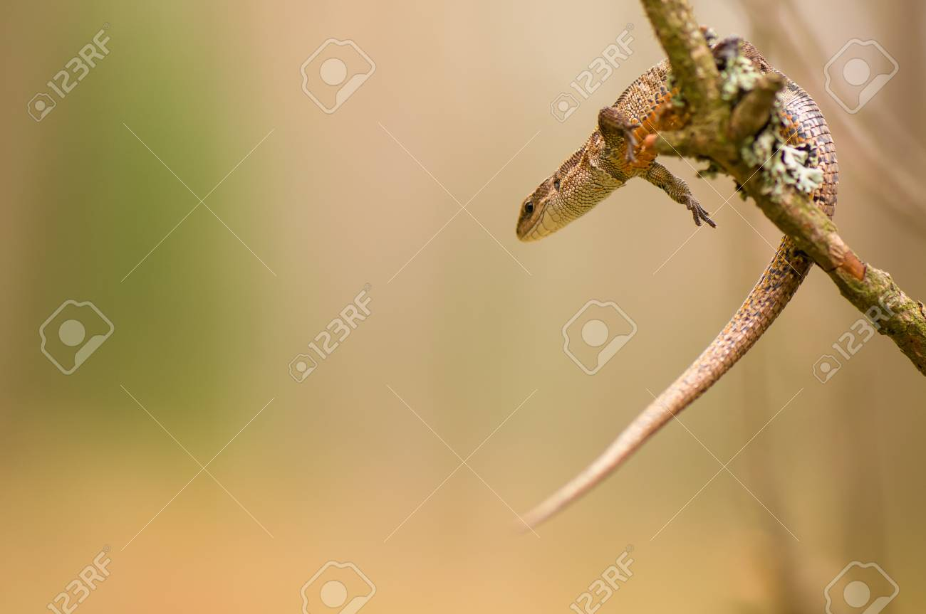 Lizard Stock Photo - 17497563
