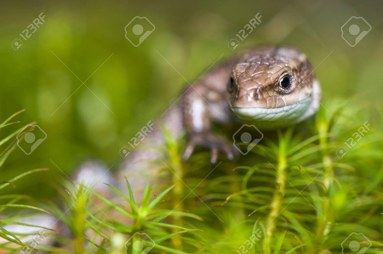 Lizard Stock Photo - 17497596
