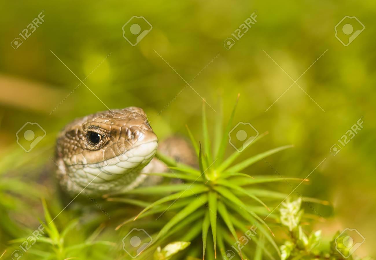 Lizard Stock Photo - 17497530