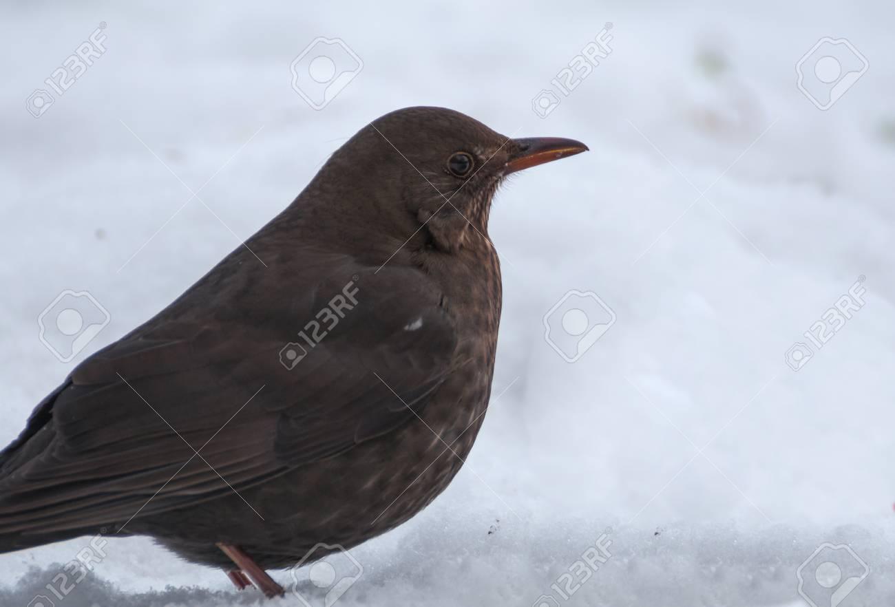 Blackbird Stock Photo - 17653381