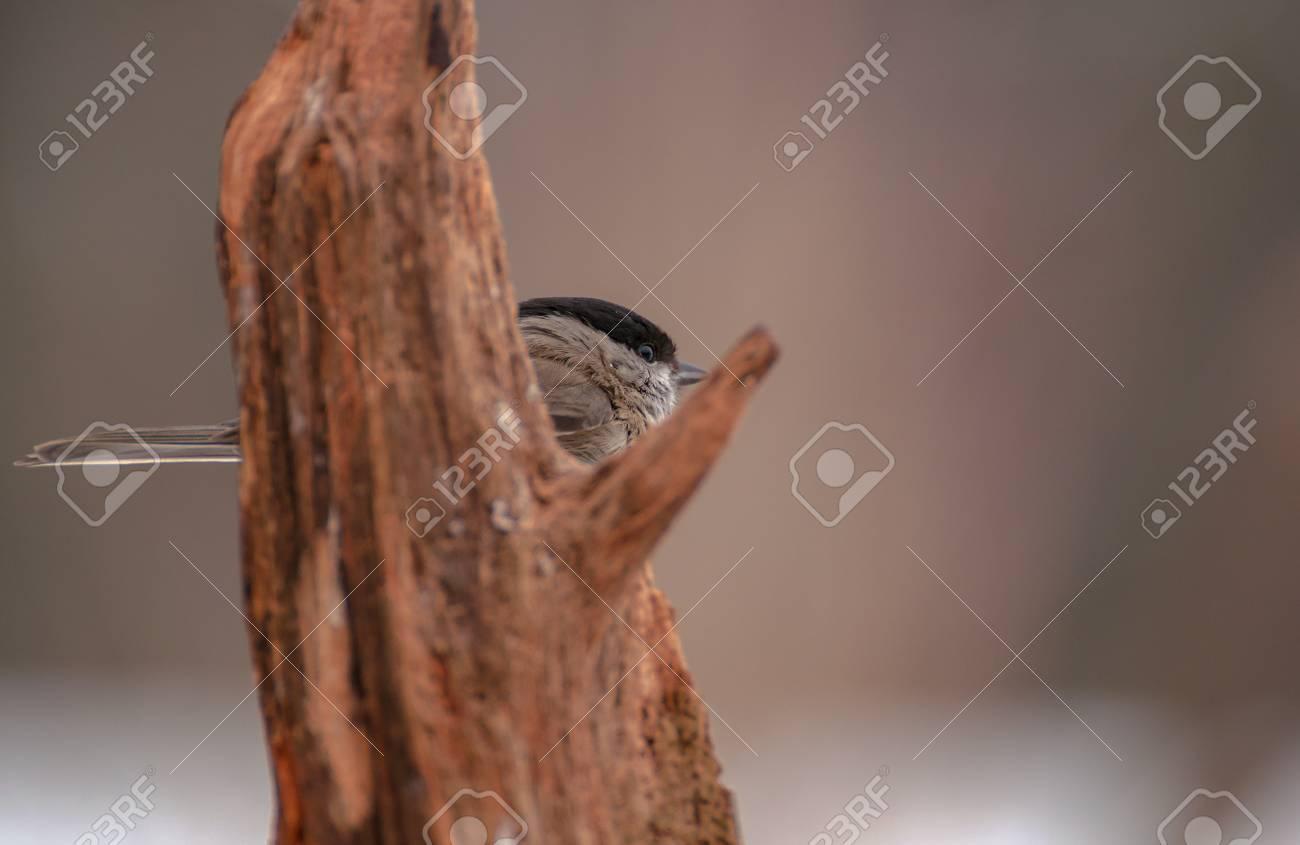 Poecile palustris Stock Photo - 17874336
