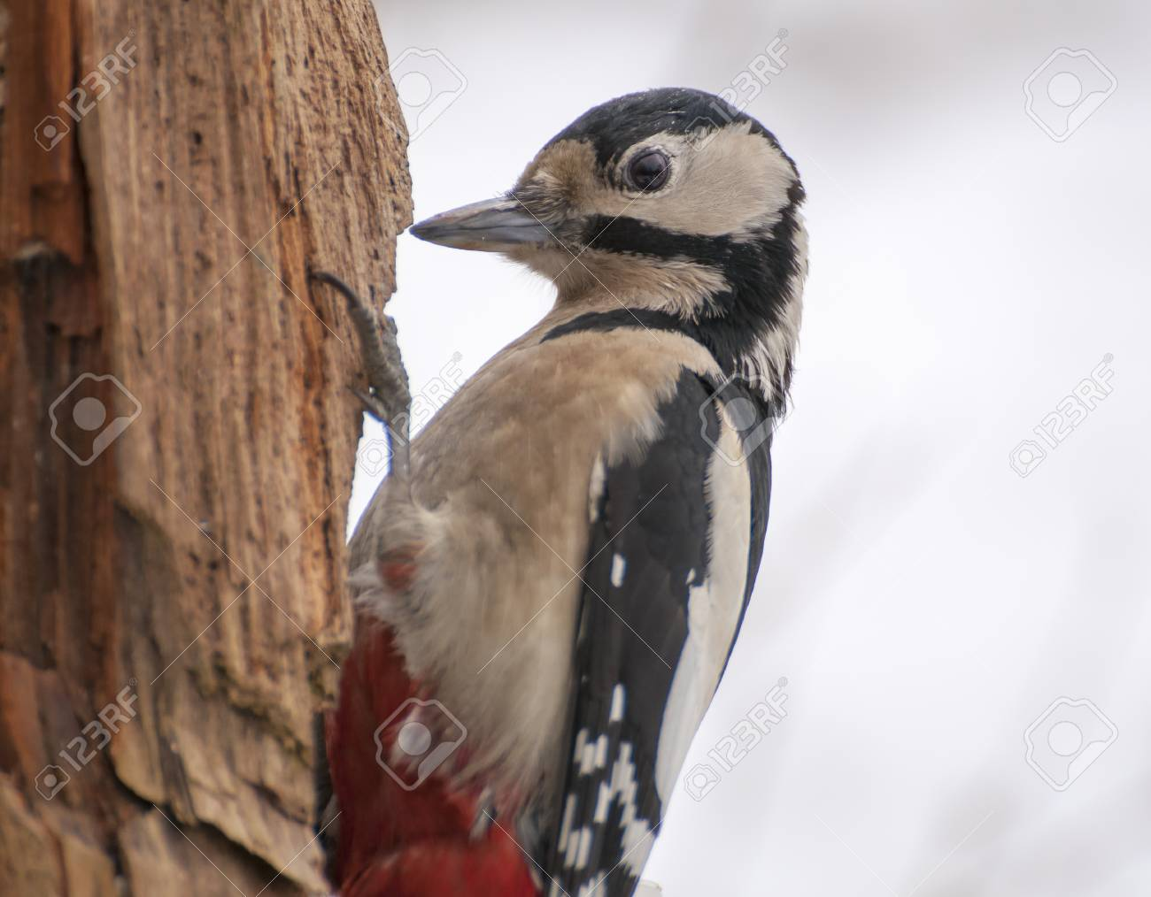 Woodpecker Stock Photo - 17874322