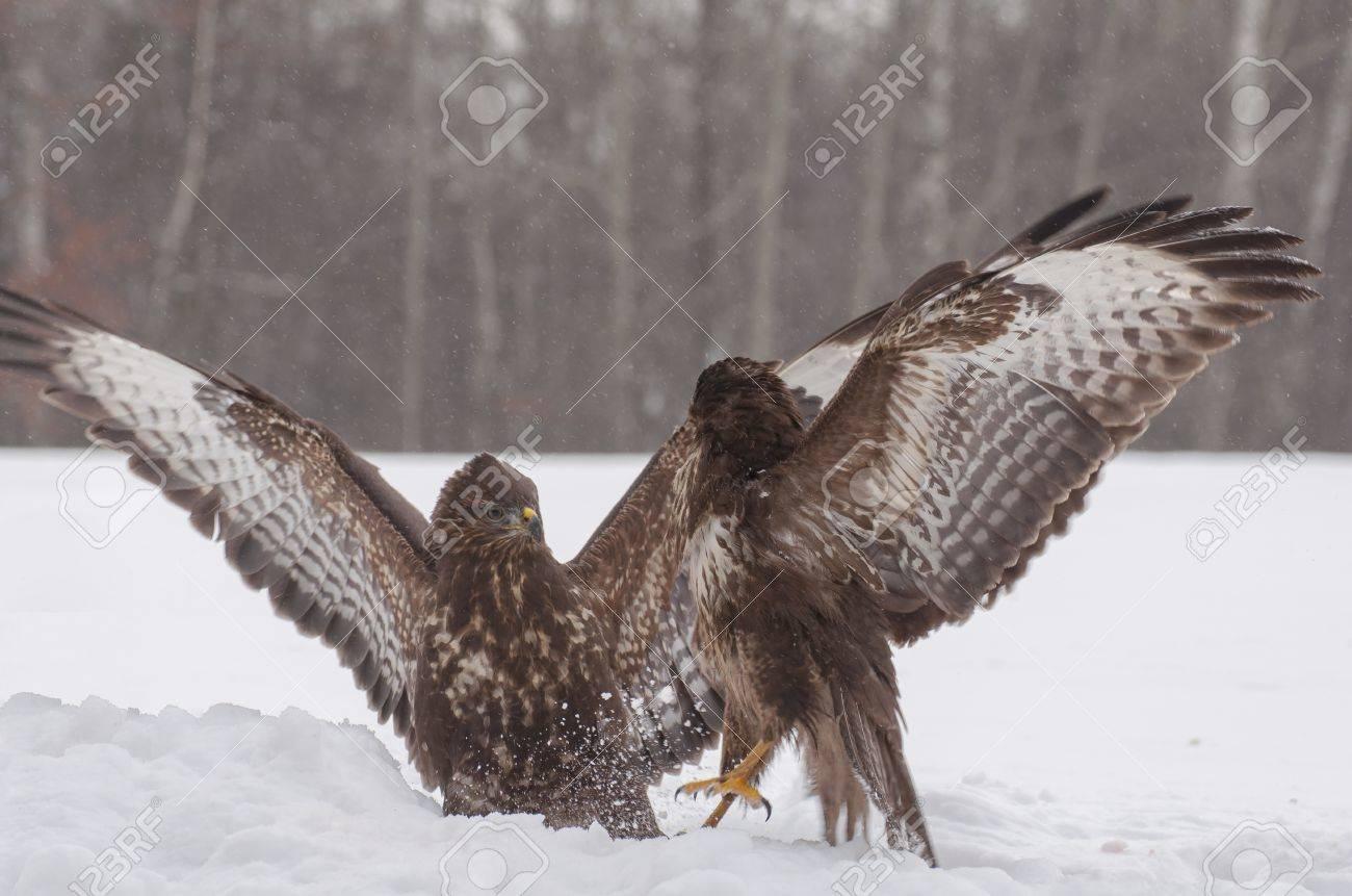 Buzzard fight Stock Photo - 18022541