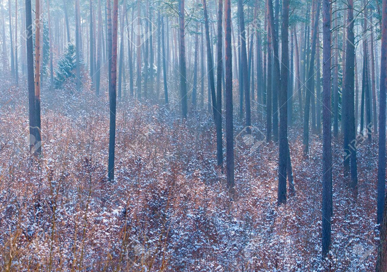 Winter forest Stock Photo - 18061009