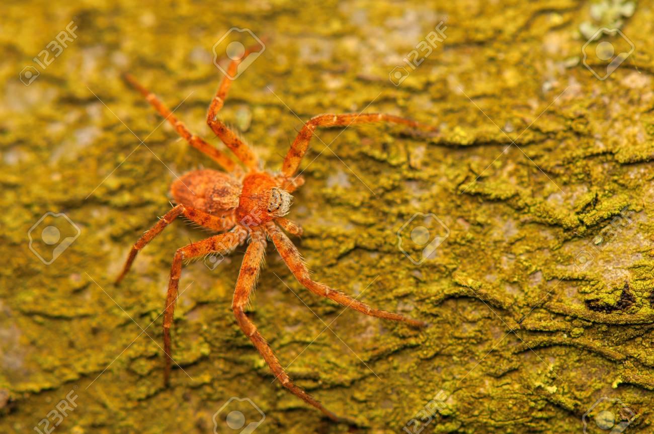 spider - Philodromus Stock Photo - 18530634