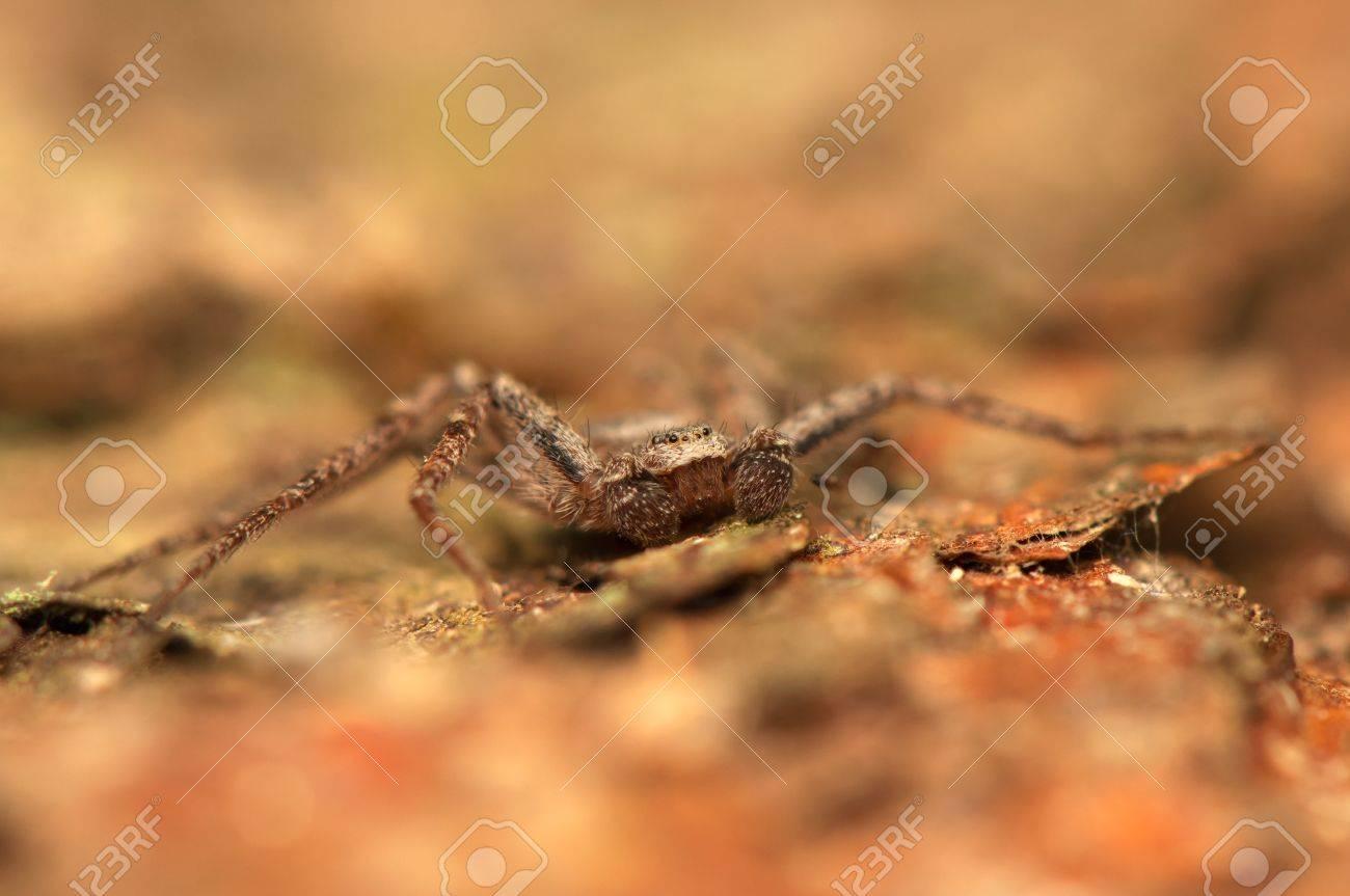 Spider - Philodromus Stock Photo - 18552193