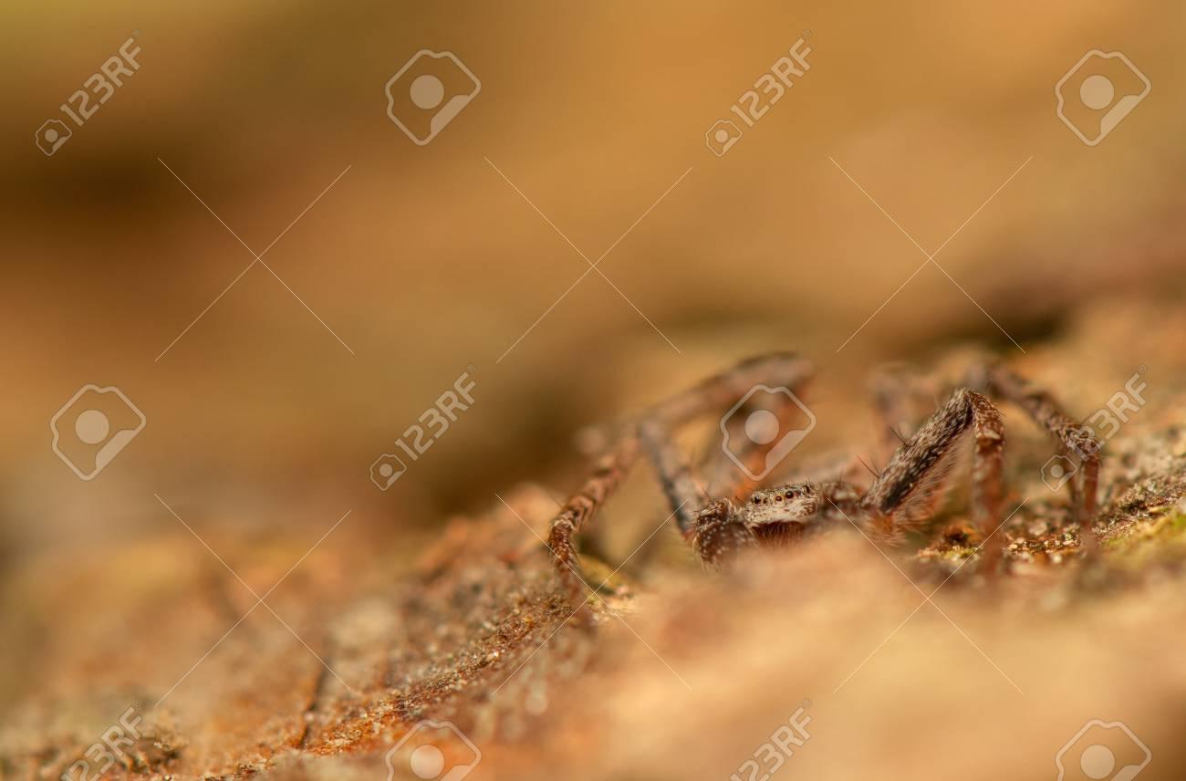Spider - Philodromus Stock Photo - 18552175