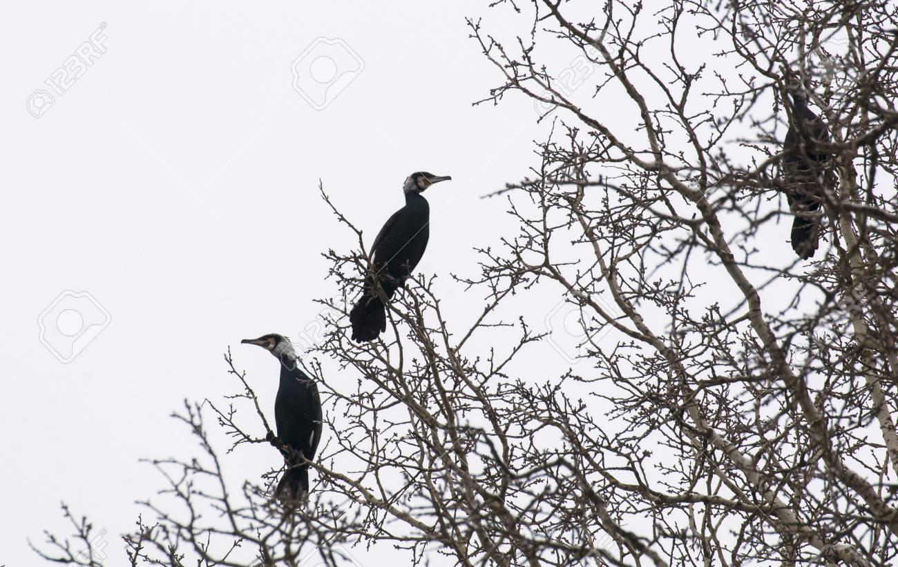 cormorant Stock Photo - 18591149