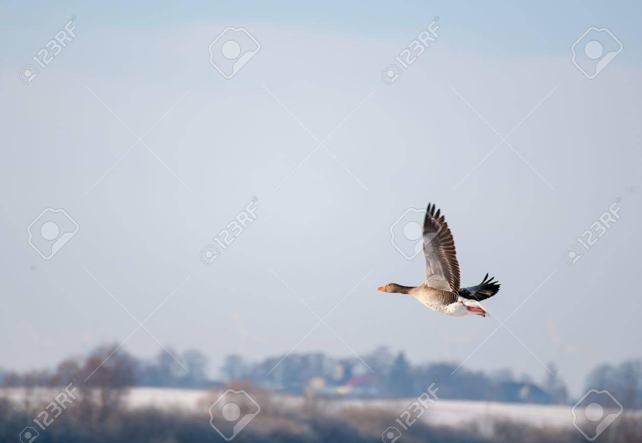 Goose Stock Photo - 18734970