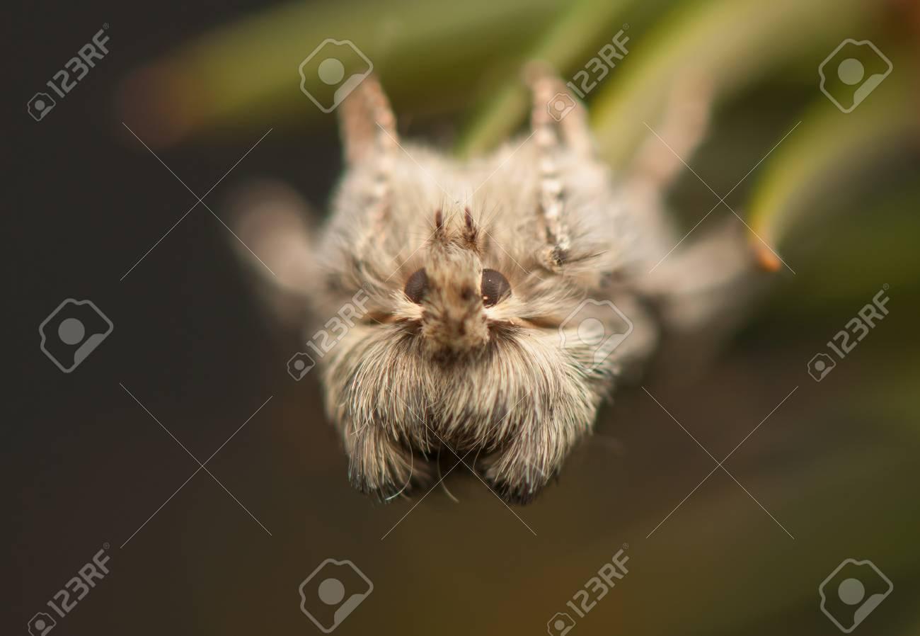 Achlya flavicornis Stock Photo - 19182234