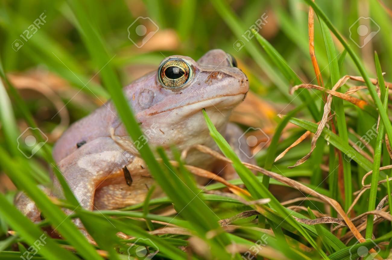 Moor frog Stock Photo - 19186205