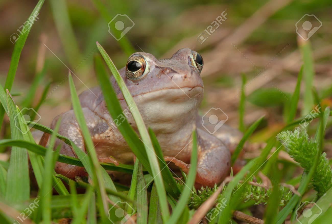 Moor frog Stock Photo - 19186340