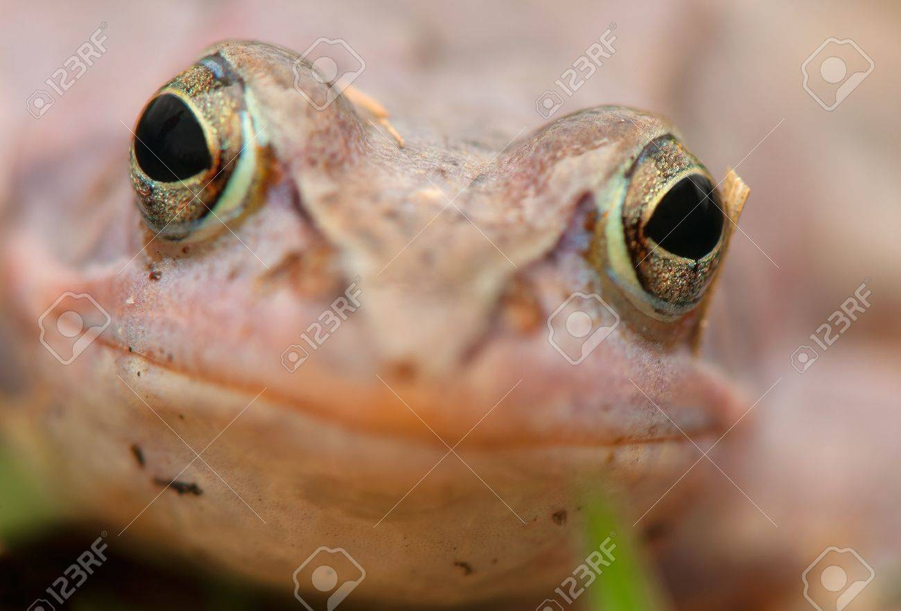 Moor frog Stock Photo - 19186149