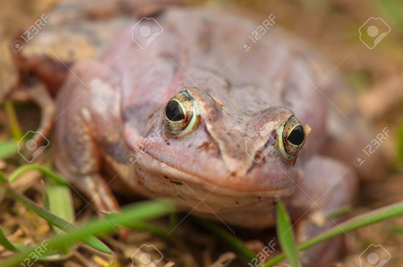 Moor frog Stock Photo - 19186970