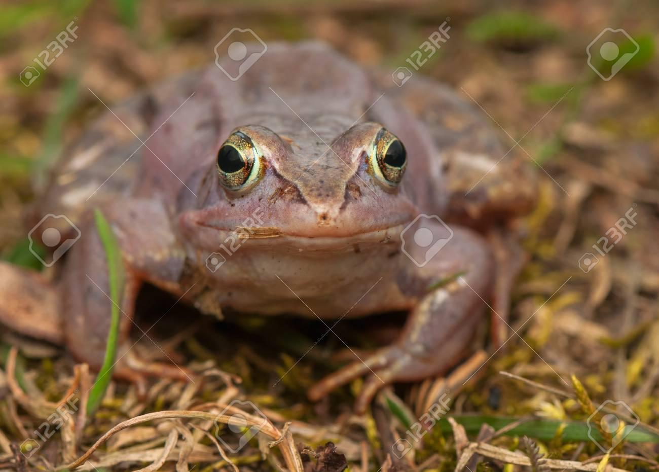 Moor frog Stock Photo - 19186256