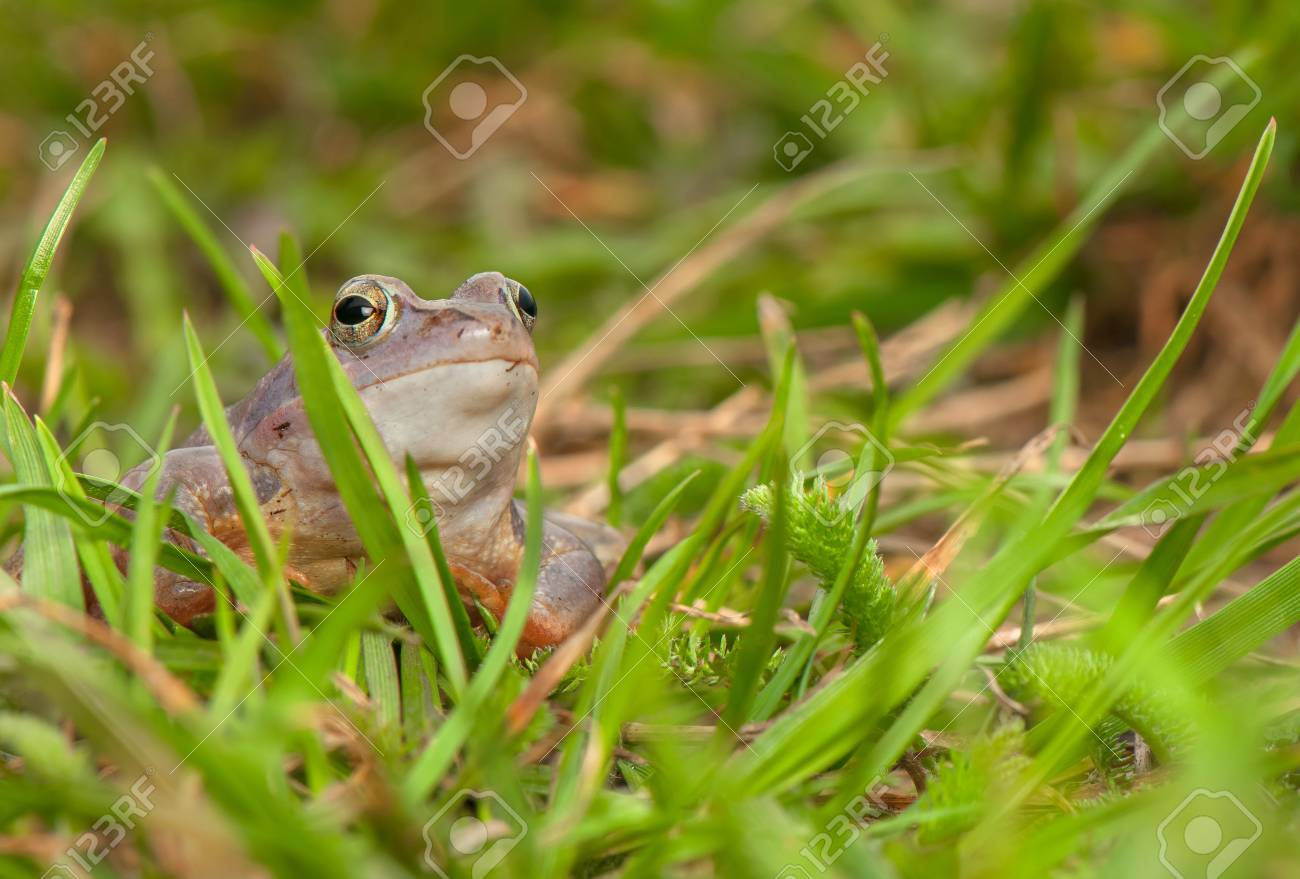 Moor frog Stock Photo - 19283690