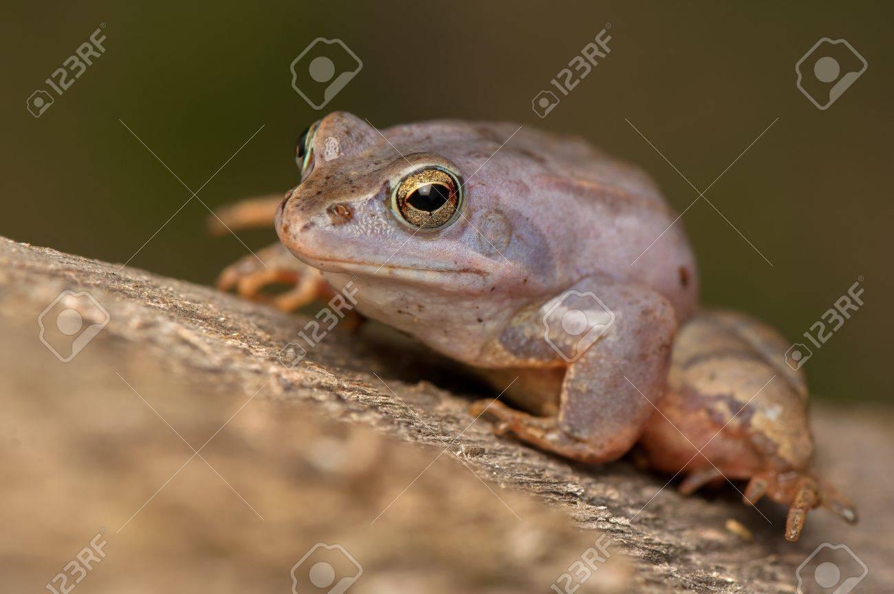 Moor frog Stock Photo - 19312492