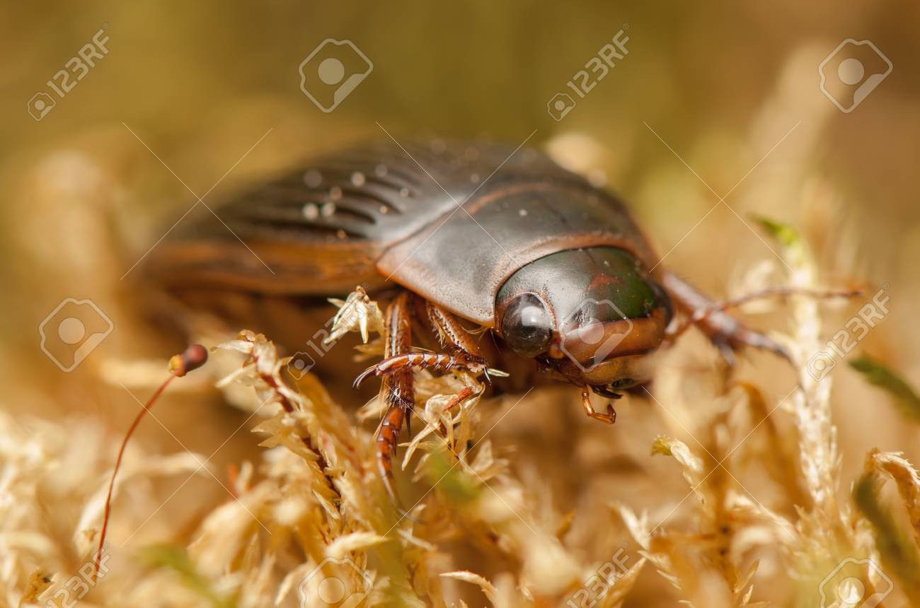 Dytiscus marginalis Stock Photo - 19283464