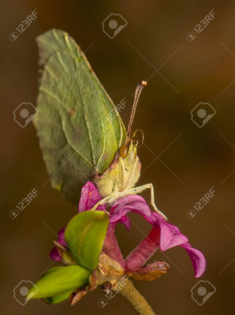 Gonepteryx rhamni Stock Photo - 19455301