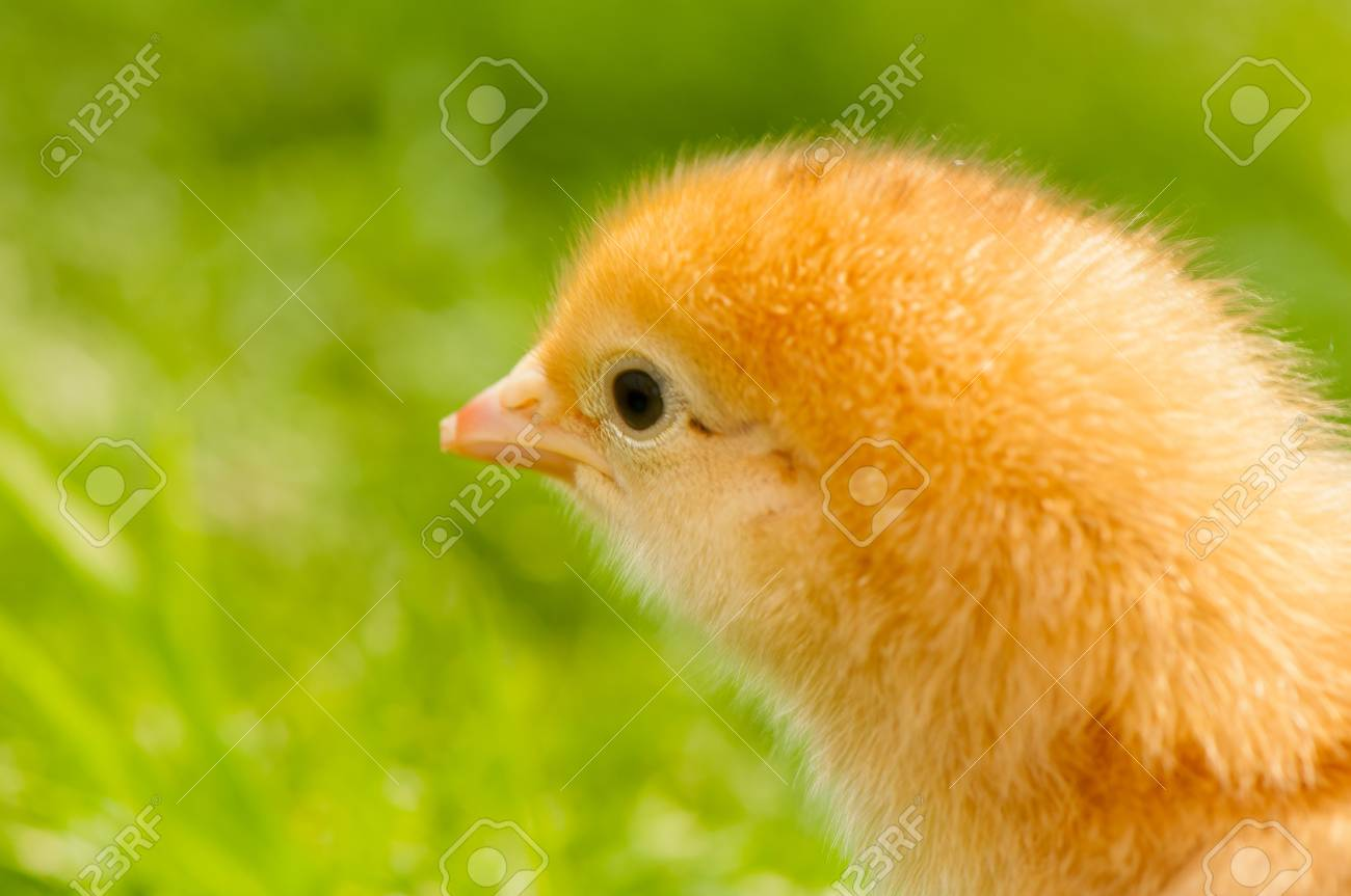 Chicken Stock Photo - 19649384