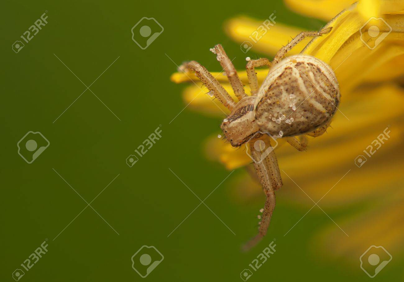 Xysticus Stock Photo - 19649545
