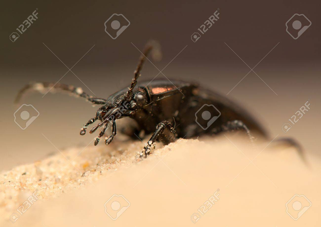 Carabus arcensis Stock Photo - 19848059