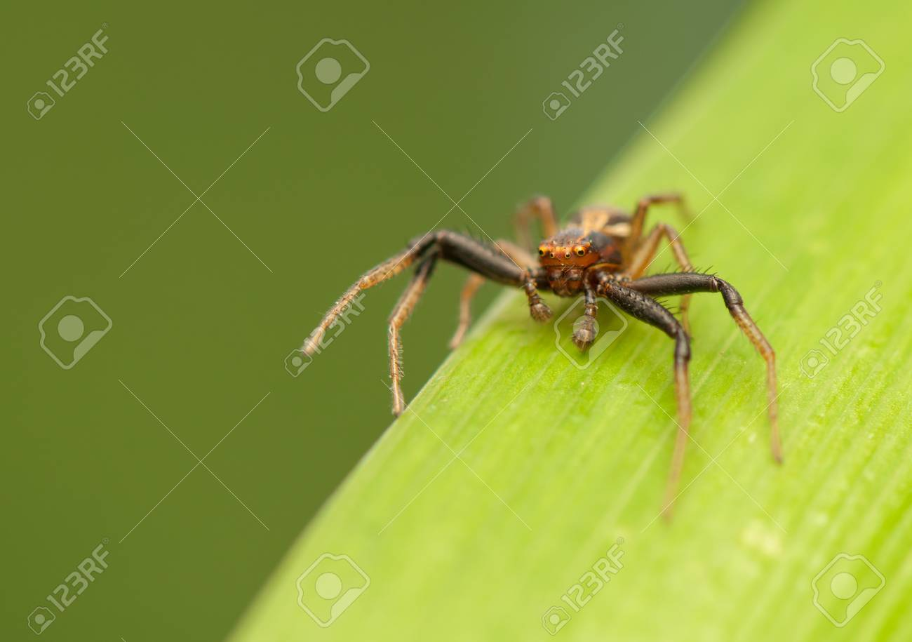 Xysticus Stock Photo - 20073036