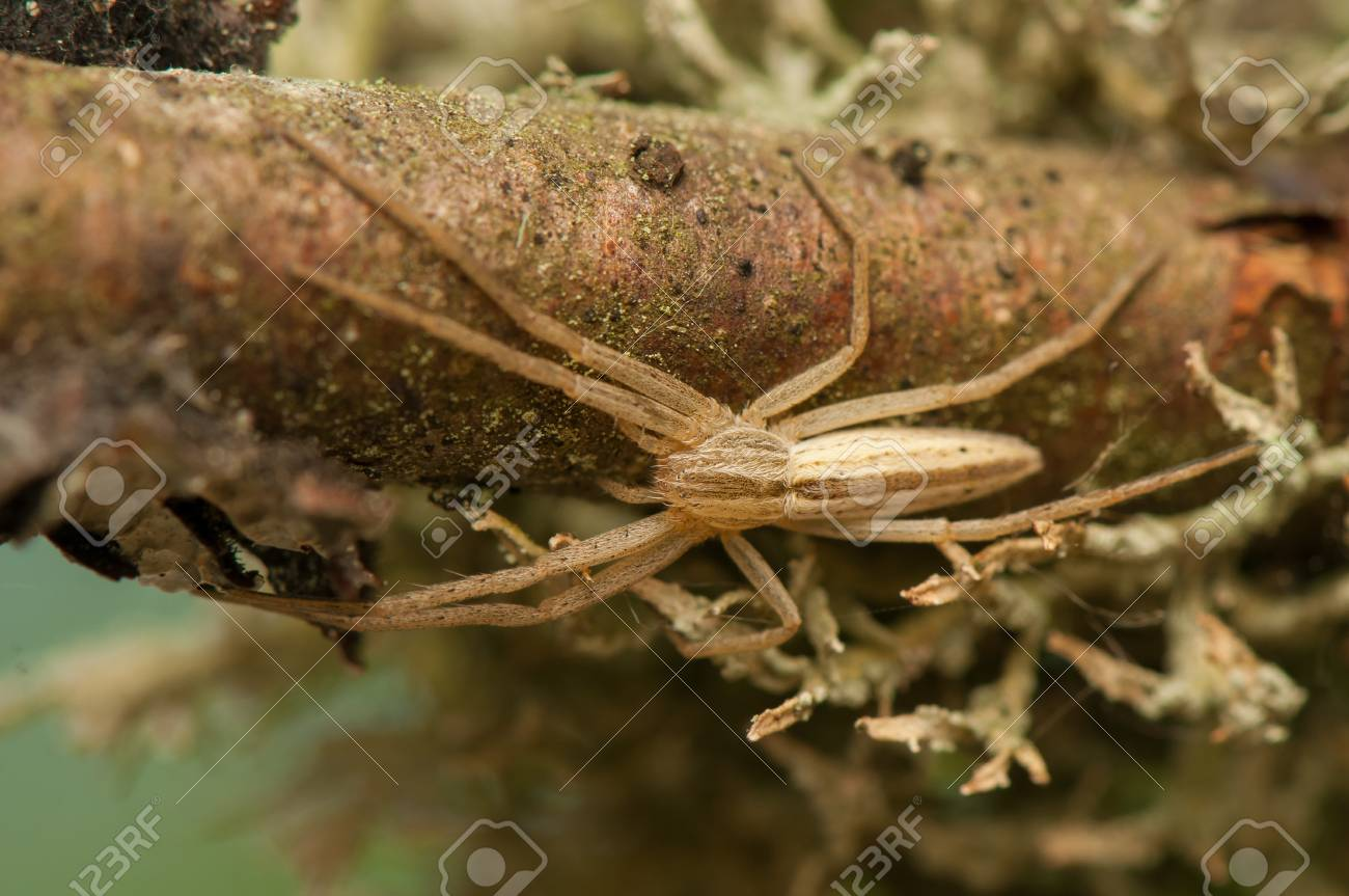 Tibellus oblongus Stock Photo - 20111218