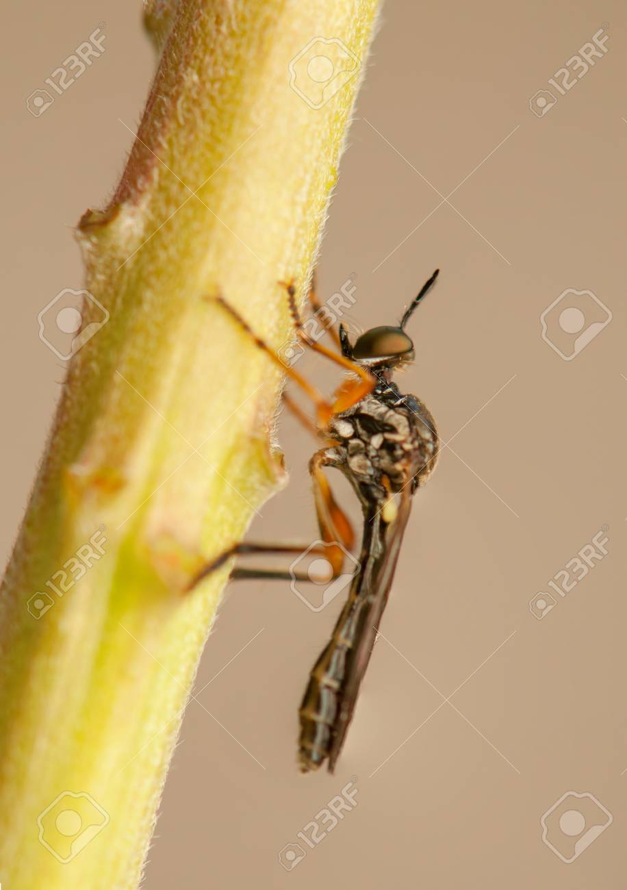 Dasypogoninae Stock Photo - 20207159