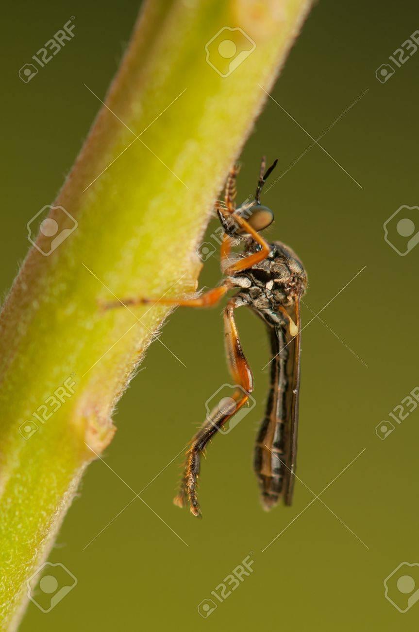 Dasypogoninae Stock Photo - 20207191