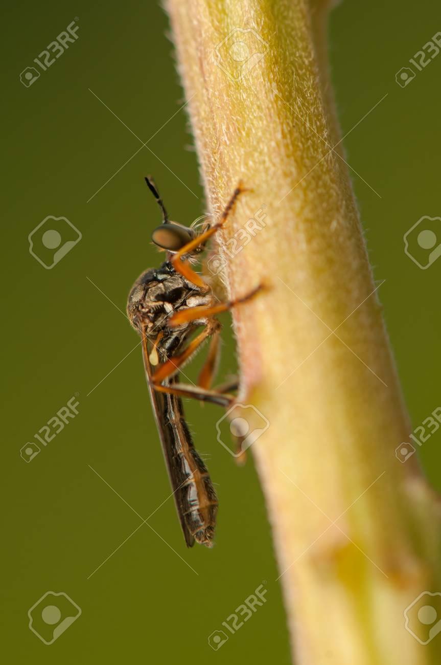 Dasypogoninae Stock Photo - 20207195