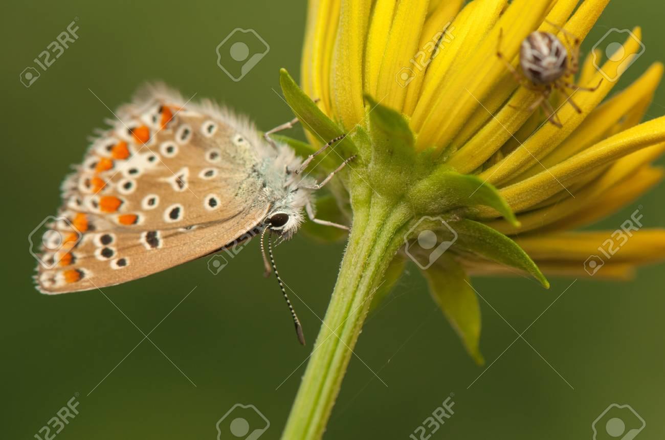 Polyommatus icarus and Metellina segmentata Stock Photo - 21128434