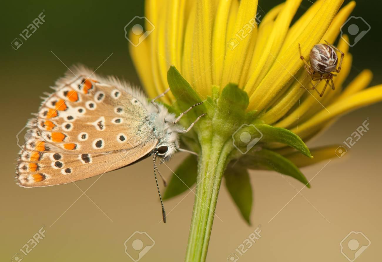 Polyommatus icarus and Metellina segmentata Stock Photo - 21128437