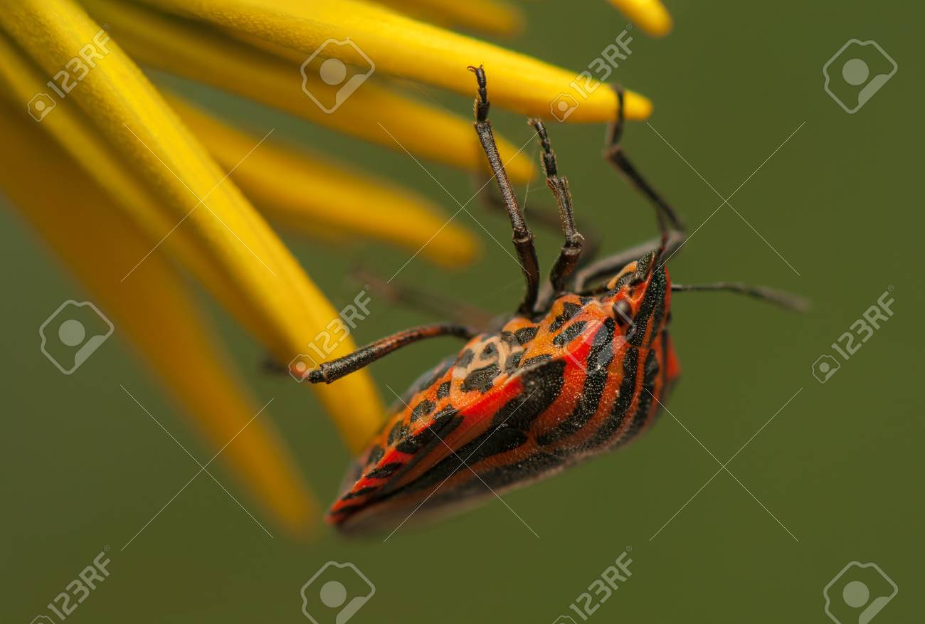 Graphosoma lineatum Stock Photo - 21128516
