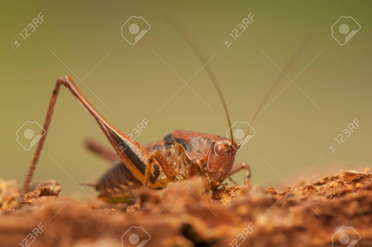 Pholidoptera griseoaptera Stock Photo - 21128577