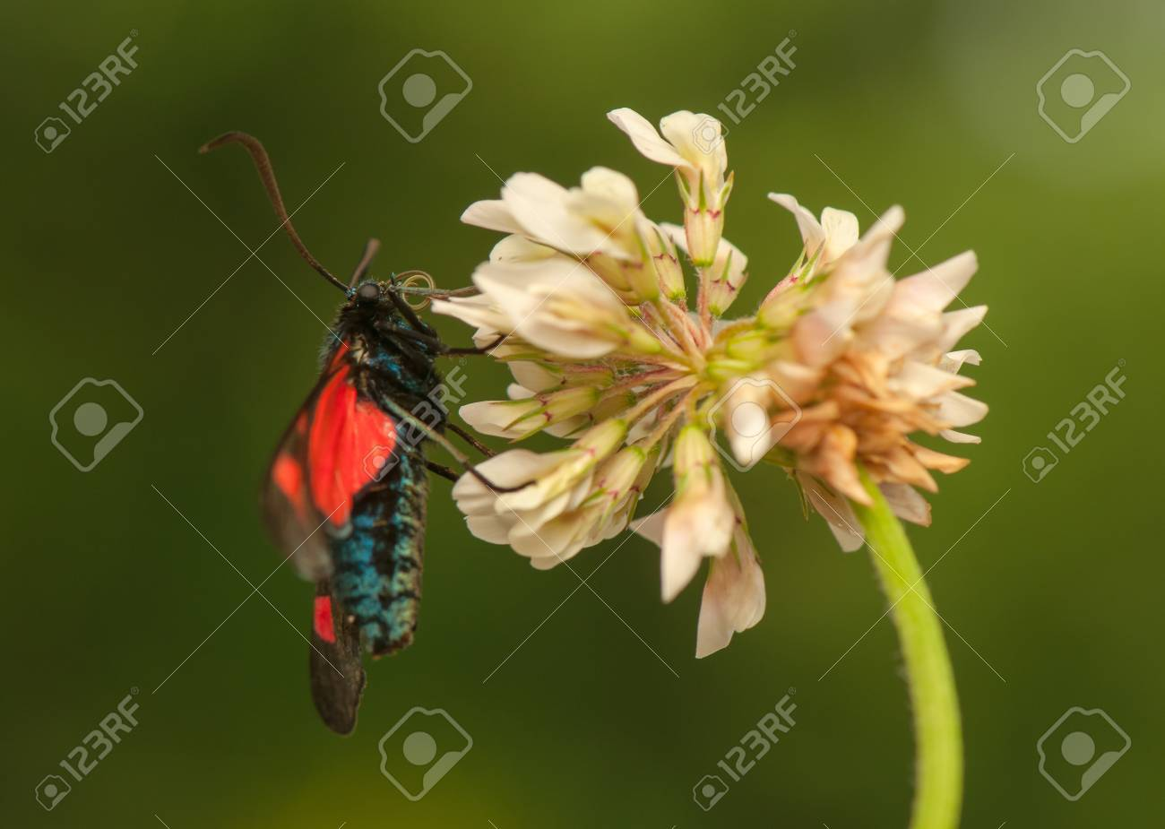 Zygaena lonicerae Stock Photo - 21128609