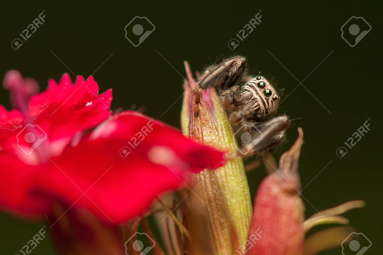 Jumping spider Stock Photo - 21870752