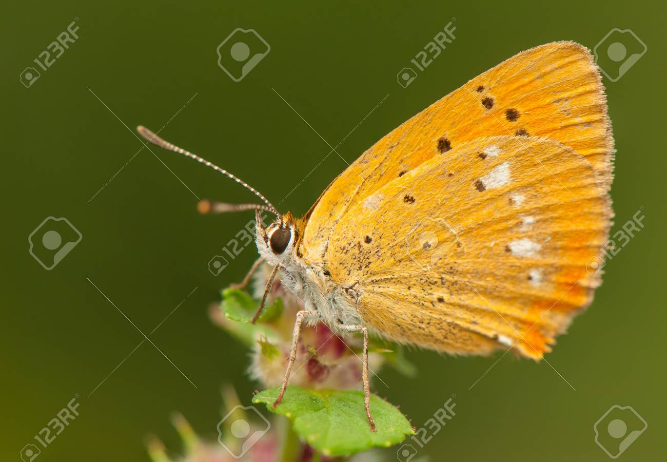 Lycaena virgaureae Stock Photo - 21870838