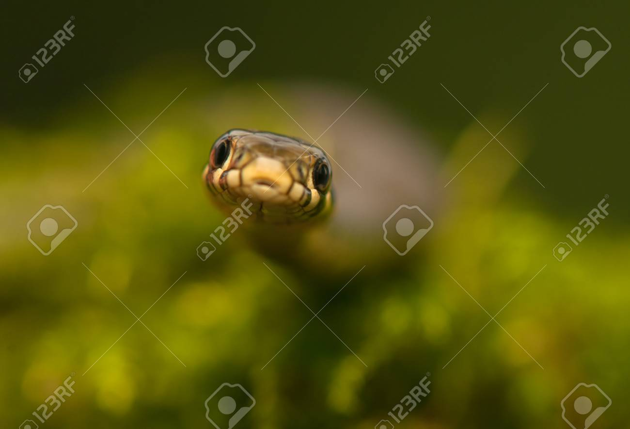 Grass snake Stock Photo - 22343869